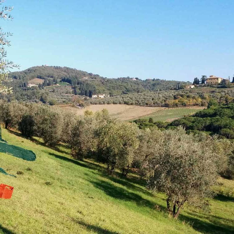 pruneti-olive-orchard